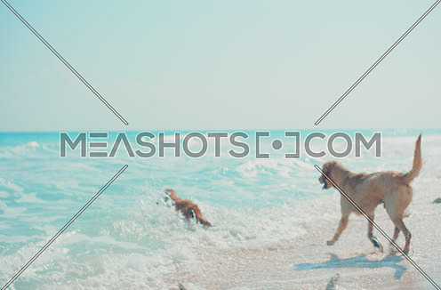 Golden Retriever dogs running on the beach - Alexa