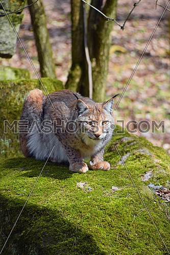 Close up portrait of young Eurasian lynx sitting resting on moth stone in forest among trees, looking at camera, low angle view