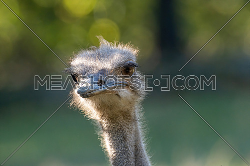 The common ostrich, Struthio camelus, or simply ostrich, is a species of large flightless bird native to Africa.