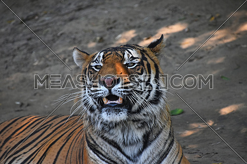 Close up portrait of Sumatran tiger (Panthera tigris sumatrae) roaring and looking at camera