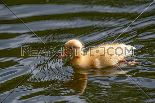 Mallard duck chick in a pond with a reflection. Birds and animals in wildlife.