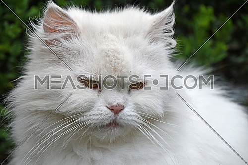 Close up front portrait of one cute white domestic cat with yellow eyes, looking at camera, low angle view