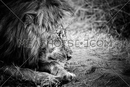black and white old male lion setting on savannah