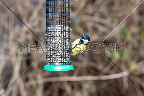Great tit (Parus major) taking seeds from bird feeder