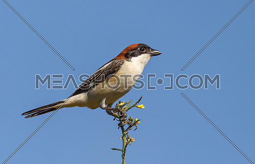 Close up of woodchat shrike (Lanius senator) in natural habitat