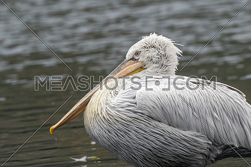 Dalmatian curly pelican (Pelecanus crispus) the world's largest fresh water bird