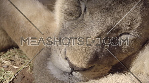 Very close view of a sleeping young lions face
