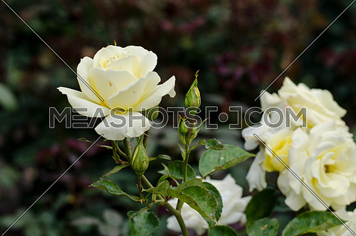 A almost fully blossomed white rose  next to the remaining fully blossomed roses