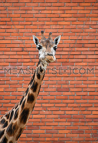 Close up front portrait of one giraffe looking at camera over background of red brick wall, low angle view