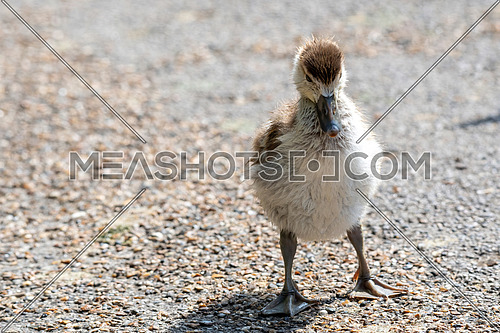 Egyptian goose (Alopochen aegyptiaca) chick first steps in local park