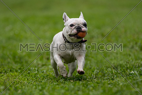 French bulldog running in the garden
