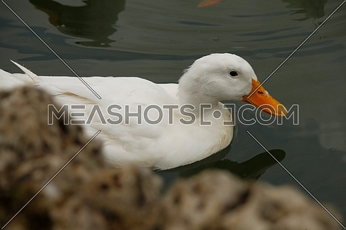 A duck swimming in the pond beside the rock