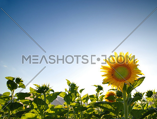 sunflower at sunny day   (NIKON D80; 6.7.2007; 1/100 at f/4; ISO 100; white balance: Auto; focal length: 18 mm)