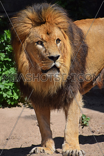 Close up portrait of cute male African lion with beautiful mane, alerted and looking up at camera, high angle view