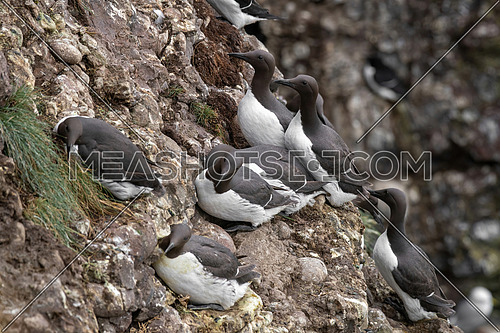 Large group of nesting Guillemot (Uria aalge) colony on coastal cliffs