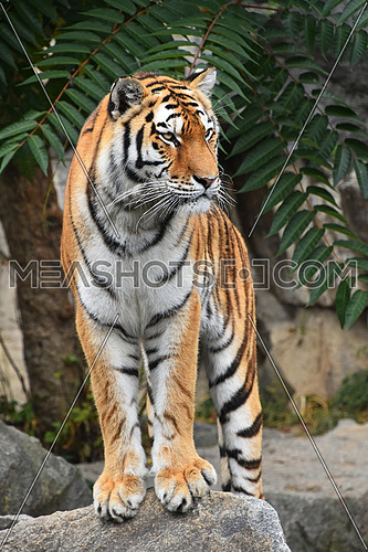 Close up full length front portrait of one young Siberian tiger (Amur tiger, Panthera tigris altaica) standing on the rock and looking at camera, low angle view