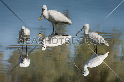 3 spoonbill birds in a lake reflecting on water