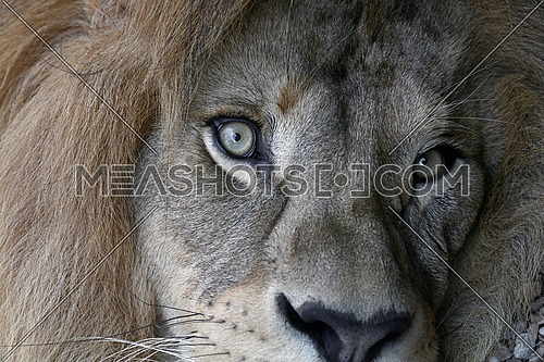 Extreme close up portrait of cute male African lion with beautiful mane, looking at camera, low angle view