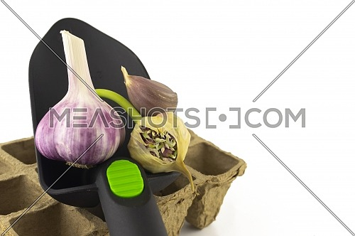Grown garlic still life with garden trowel, garlic bulbs and cloves, seed head and cardboard seed tray over white background with copy space