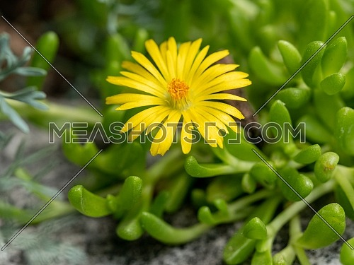 Macro shot of , Delosperma nubigenum (Aizoaceae) ** Note: Shallow depth of field