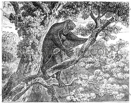 The Galeopithecus, lemurien of the Eocene period, vintage engraved illustration. Earth before man – 1886.