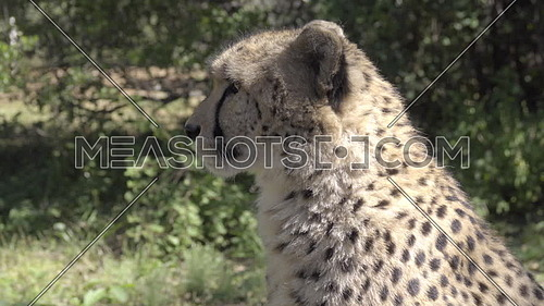 View of cheetah walking out of frame