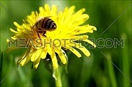 Honeybee going through a yellow dandelion flower covered in pollen