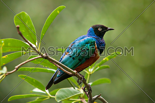 The Superb Starling (Lamprotornis superbus) is a member of the starling family of birds. It was formerly known as Spreo superbus.