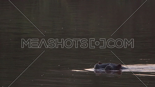 View of a lone hippo swiming in a river