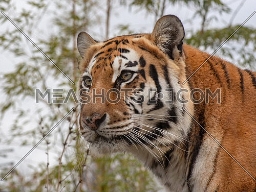 The Amur tiger (Panthera tigris tigris, formerly known as the Siberian tiger)