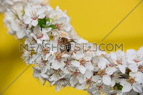 Close up honey bee pollinating on white cherry tree blossom over vivid yellow background, low angle view