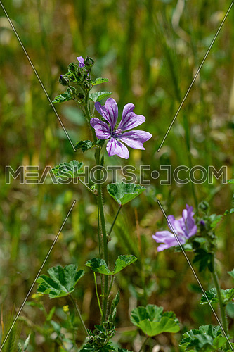 Macro photo of Malva sylvestris on a green background ** Note: Shallow depth of field