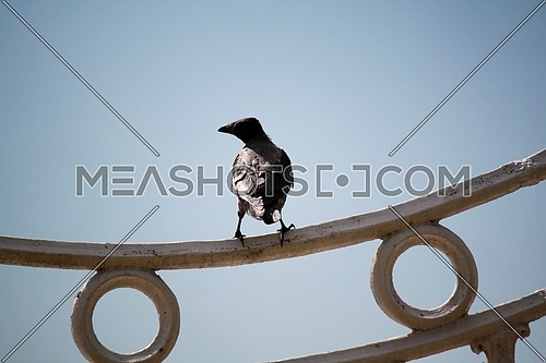 A crow standing on a fence and blue sky