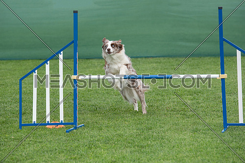 Australian Shepherd dog jumping over obstacle on agility competition. Selective focus
