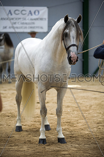 Spanish horse of pure race taking part during an exercise of equestrian morphology in Baza, Granada province, Andalusia, Spain