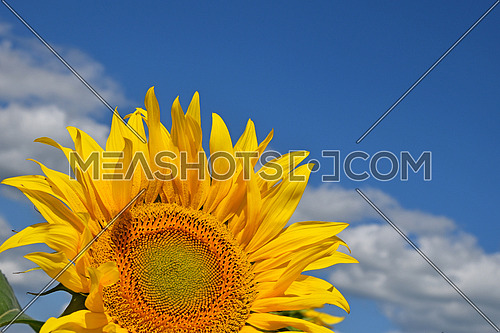 Young yellow sunflower blossom close up over cloudy blue sky