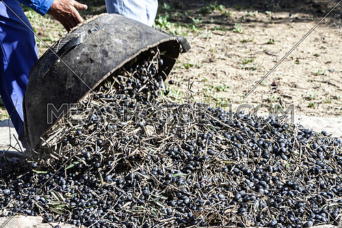 Jaen, Spain - yanuary 2, 2016: Farmer dumps olives collected in a lot, during the winter in January, take in Jaen, Spain