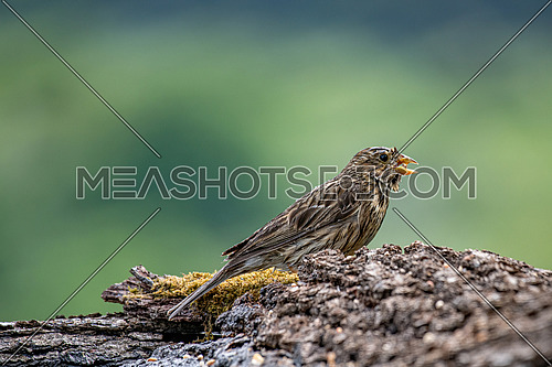 Close up of Corn Bunting - Emberiza calandra near pond in forest