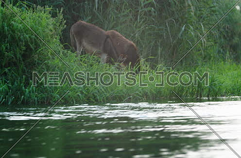 Follow Shot for two donkeys eating at green field beside River Nile