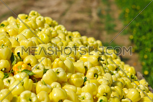 fresh organic food peppers in field agriculture background