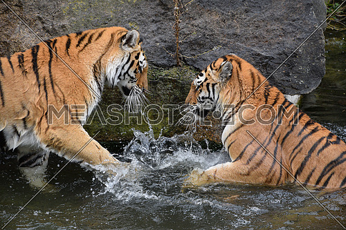 Two young female Siberian tigers (Amur tiger, Panthera tigris altaica) play and fight in water splashing, low angle, side view