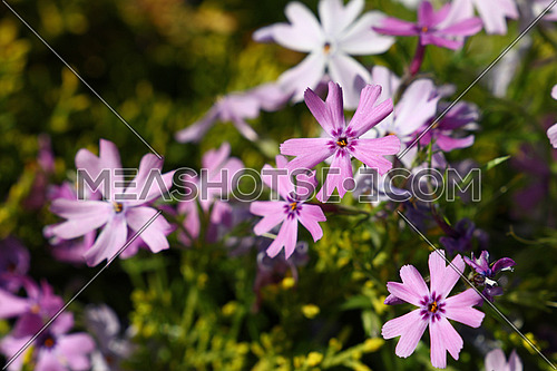 Purple pink meadow mallow flowers (Malva) close up in green grass
