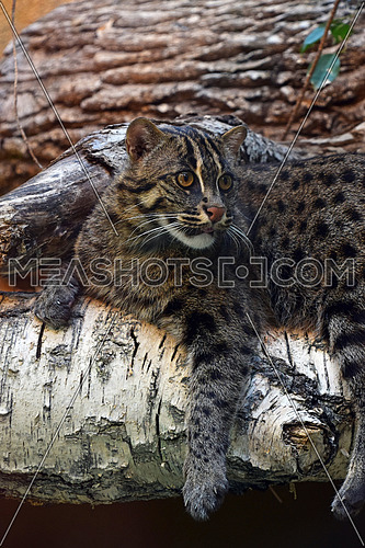 Close up side profile of fishing cat (Prionailurus viverrinus) resting on tree and looking away aside of camera, low angle view