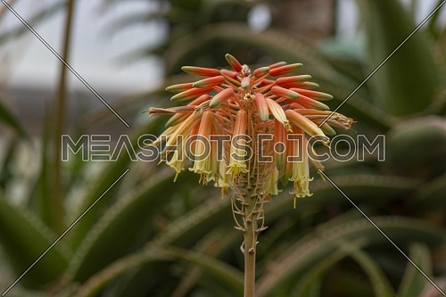 Close view of an aloe plant blossom with stages of bloom in orange and red