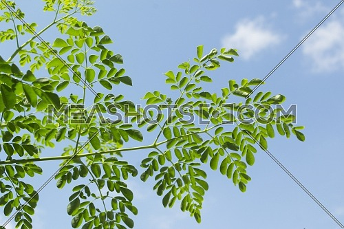 Green Leaves And Branches Of The Moringa Tree Against A Background Of Blue Sky