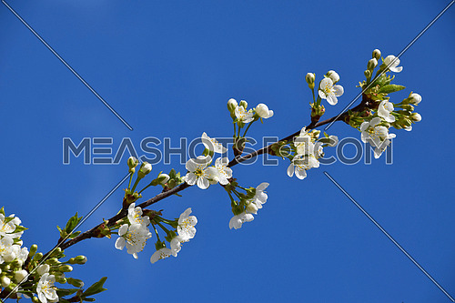 Beautiful branch of cherry tree in bloom on background of blue sky