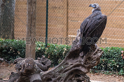 Eagle in a Zoo cage