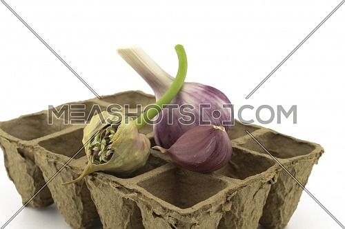 Garlic bulbs, cloves and seed head on cardboard seed tray over white in a concept of planting, growing, and harvesting garlic
