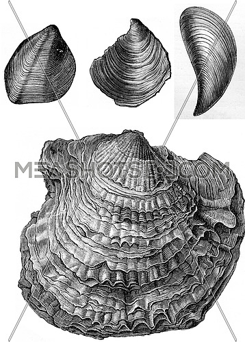 Oyster fossils of the Triassic period, vintage engraved illustration. Earth before man – 1886.