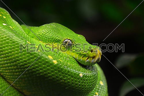 Close up side profile portrait of beautiful Green tree python (Morelia viridis) looking into camera, low angle view